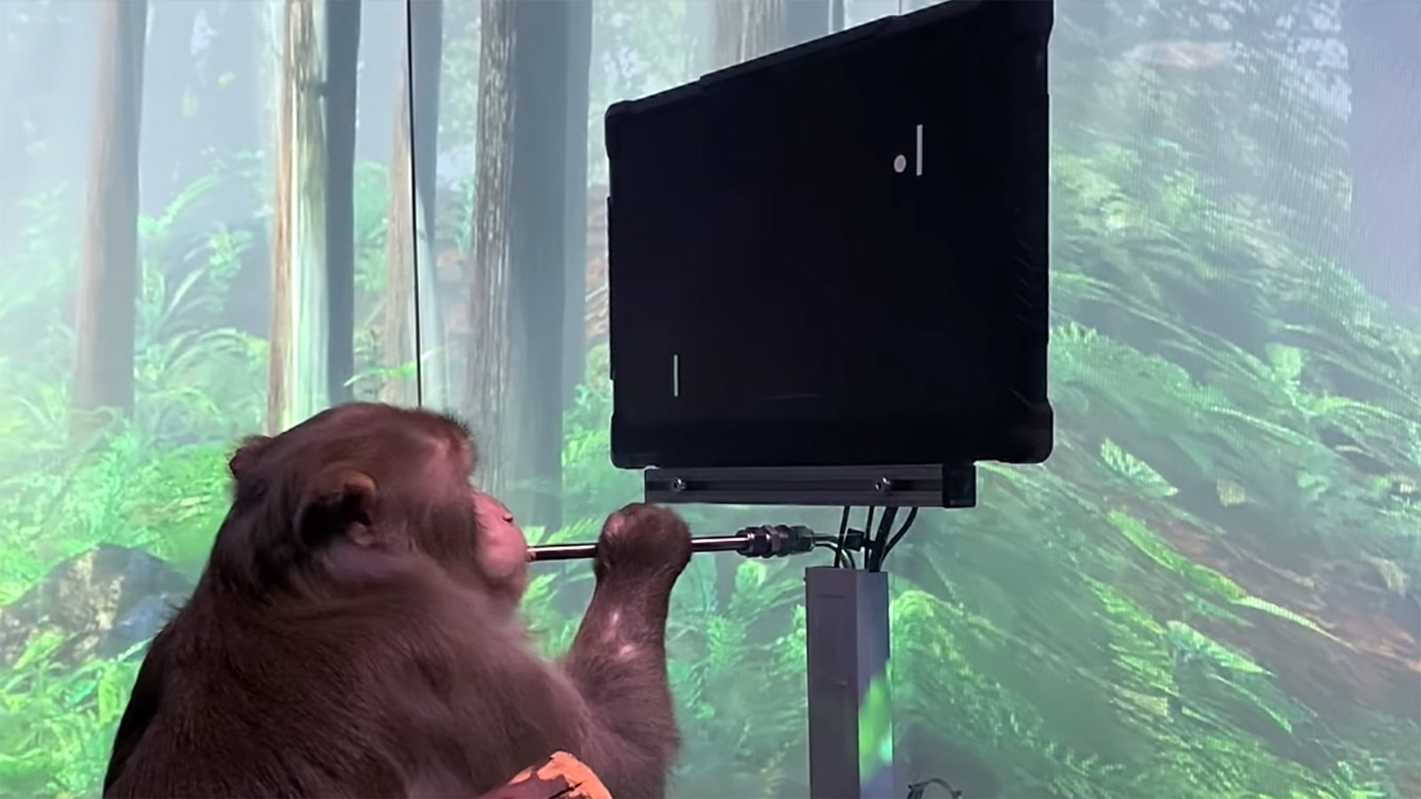 Watch: Monkey Uses Elon Musk's Neuralink To Play Pong With Its Mind